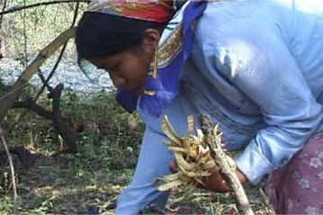 Woman collecting carob