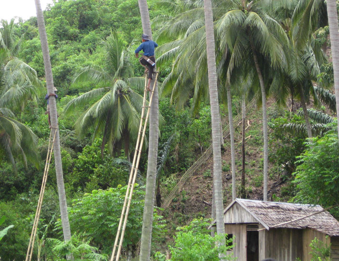 Coconut pickers at work