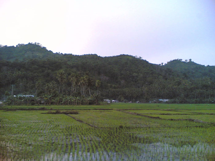 Ricefields and rows of clove trees on the hills near the village Lalos